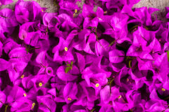 Rosa blommas Bougainvilleas Royaltyfri Bild