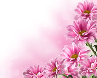 Rosa blommas chrysanthemumblommor Royaltyfri Foto