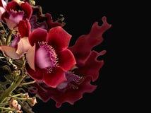 Rosa blommasvartbakgrund eller Couroupita Guianensis arkivbild