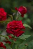 Rosa blommaträdgård Royaltyfri Foto
