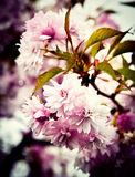 Rosa blommigt träd för Retro bakgrund Royaltyfria Foton
