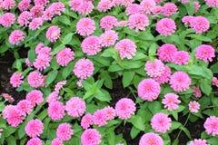 Rosa blommor är blommande i trädgård fotografering för bildbyråer