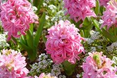 Rosa blommor Arkivfoton