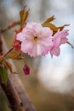 Rosa blommor Royaltyfri Bild