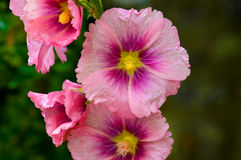Rosa blommor Arkivbilder