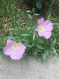 2 rosa blommor Royaltyfria Bilder