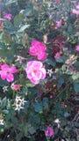 Rosa blommor Fotografering för Bildbyråer