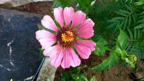 Rosa blommor Royaltyfri Fotografi