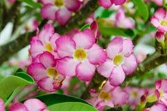 Rosa blommor, adeniumobesum Arkivfoton