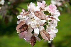 Rosa blommor av äpplet Arkivfoton