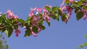 Rosa blommor av Apple-tr?det lager videofilmer