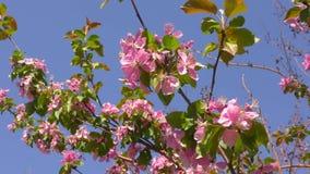 Rosa blommor av Apple-tr?det arkivfilmer