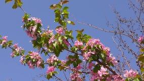 Rosa blommor av Apple-tr?det stock video