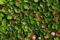 Rosa blommor av begonian med sidor royaltyfria bilder