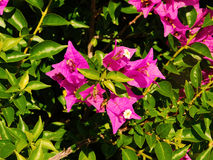 Rosa blommor av bugambiliaträdet Fotografering för Bildbyråer