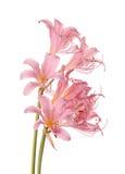 Rosa blommor av den Lycoris squamigeraen som tillbaka isoleras mot en vit Arkivfoton