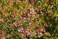 Rosa blommor av grandiflora blomstra för Abelia x under sommar Royaltyfri Bild