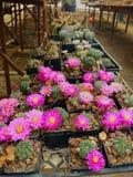 Rosa blommor av kaktusen Arkivfoton
