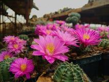 Rosa blommor av kaktusen Royaltyfria Bilder
