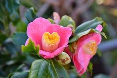 Rosa blommor av kamelian Fotografering för Bildbyråer