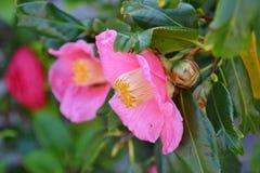 Rosa blommor av kamelian Arkivfoto