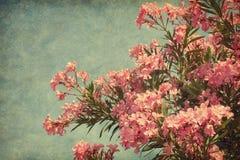 Rosa blommor av oleander Royaltyfri Foto