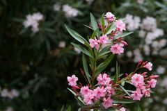 Rosa blommor av oleander i Kroatien arkivfoto