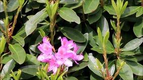 Rosa blommor av rhododendron arkivfilmer