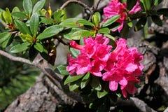 Rosa blommor av rhododendron (rhododendronferrugineumen) Arkivfoton
