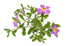 Rosa blommor av rockrose- eller Cistusalbidusen arkivbilder