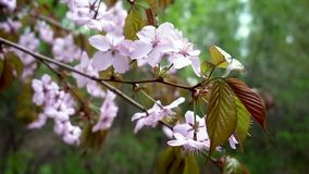 Rosa blommor av Sakura svänger i en vårbris arkivfilmer