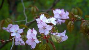 Rosa blommor av Sakura sv?nger i en v?rbris lager videofilmer