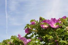 Rosa blommor av steg Royaltyfri Foto