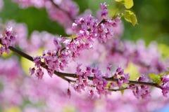 Rosa blommor av trädgården för Cerciskanadensare på våren Träd av Li Arkivbild