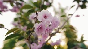 Rosa blommor av trädgården för körsbärsröda blomningar på våren Closeup grunt djup av fältet stock video