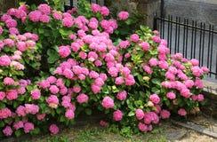 Rosa blommor av vanliga hortensian som på våren blomstras Royaltyfri Foto