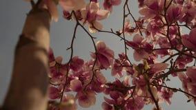 Rosa blommor blommar på våren lager videofilmer
