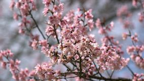 Rosa blommor blomstrar i vinden lager videofilmer