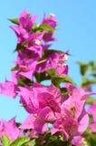 Rosa blommor (bougainvilleaen) Royaltyfria Bilder