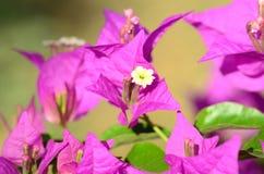 Rosa blommor (bougainvilleaen) Arkivfoto