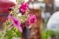 Rosa blommor Den rosa blomman växer i en kruka trädgårds- sommar för blomningblommor Arkivbild