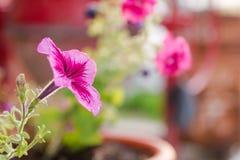Rosa blommor Den rosa blomman växer i en kruka trädgårds- sommar för blomningblommor Fotografering för Bildbyråer