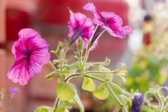Rosa blommor Den rosa blomman växer i en kruka trädgårds- sommar för blomningblommor Arkivfoto