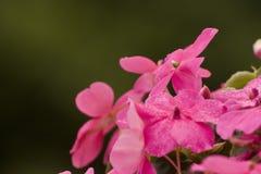 Rosa blommor, en grupp av små blommor, iriers arkivfoton