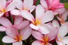 Rosa blommor för frangipani (plumeria) Arkivbilder