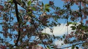 Rosa blommor för körsbärsröd blomning arkivfilmer