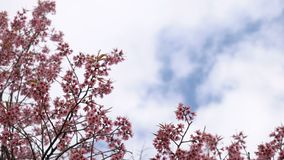 Rosa blommor för körsbärsröd blomning på blå himmel och moln med utrymme för din text arkivfilmer