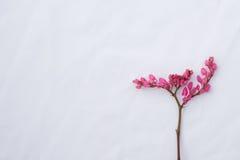 Rosa blommor för knoppning för korallvinranka med den bruna filialen Royaltyfri Fotografi