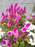 Rosa blommor för nedgång arkivfoton