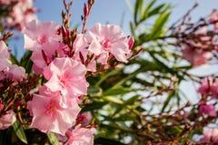 Rosa blommor för Oleander Royaltyfri Bild